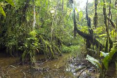 interior of swamp forest near the edge of an amazonian river in ecuador - stock photo