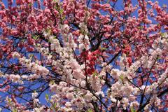 abundance of blossoming branches - stock photo
