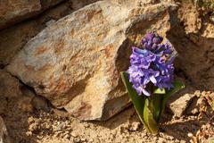 Blue hyacinth flower Stock Photos