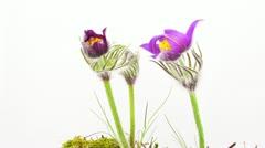 Spring flowers, timelapse Stock Footage