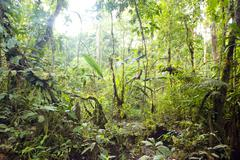 Interior of swamp forest near the edge of an amazonian river in ecuador Stock Photos