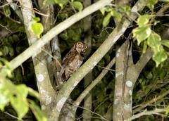 rufescent screech owl (megascops ingens) eating a large cockroach in rainfore - stock photo
