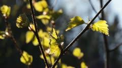 Unfolding birch leaves in spring breeze Stock Footage