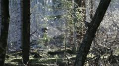 Stock Video Footage of Dancing gnats in a forest