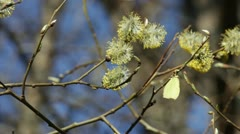 Yellow butterfly on willow catkins Stock Footage