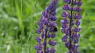 Stock Video Footage of Bumble-bee gathering nectar from a lupine