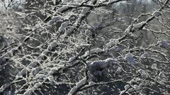 Snow is being blown from tree branches Stock Footage