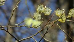 Stock Video Footage of Yellow butterfly on catkins