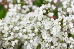 small white flowers - stock photo