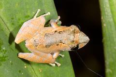 Sade sammakko (pristimantis ockendeni) on lehtiä sademetsä, Ecuador Kuvituskuvat