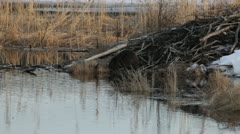 Beaver gnawing a birch branch on its lodge Stock Footage