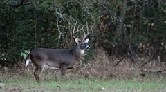 Whitetail buck 07 Stock Footage