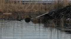 Two beavers at their lodge Stock Footage