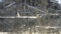 Beaver swimming along its lodge - stock footage