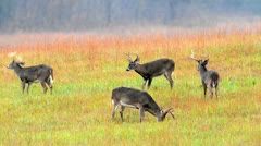 Group of whitetail deer bucks - stock footage
