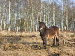 exmoor pony with birch trees 2 - stock photo