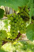 ripe grapes - stock photo