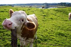 happy cow - stock photo
