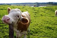 Stock Photo of happy cow
