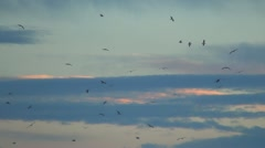 Seagulls, Flock of Birds in Flight, Flying Birds, Sunset Stock Footage