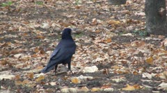 Crow Carrying a Nut in Beak, Hungry Crow with a Nut in Her Beak Stock Footage