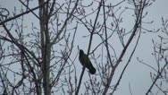 Crow Sitting on a Bare Branch in a Tree Stock Footage