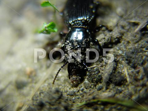 Stock photo of Ground beetle in soil of the order Coleoptera and family Carabidae