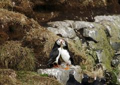 two puffins in love - stock photo