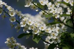 Stock Photo of wild cherry (prunus avium)