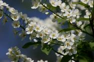 Stock Photo of wild cherry (prunus avium)