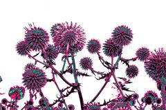 toned spherical thistle flowers over white - stock illustration