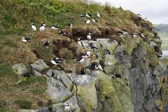 puffin rock - stock photo