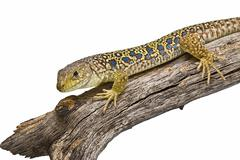lizard on a dry branch. - stock photo