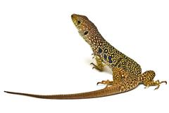 colorful lizard on white background. - stock photo