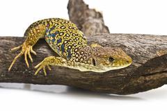 lizard hunting. - stock photo