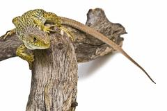 Colorful lizard ready to hunt. Stock Photos