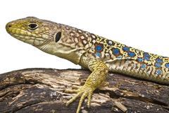 Yellow and blue lizard. Stock Photos