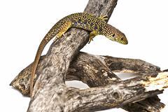 lizard between branches. - stock photo