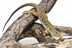 lizard waiting for a prey. - stock photo