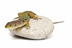 Colorful lizard on a stone. Stock Photos