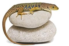 Lizard on stones. Stock Photos