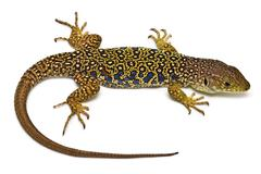 Stock Photo of ocellated lizard.