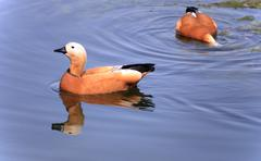 Two roody shelduck on water Stock Photos
