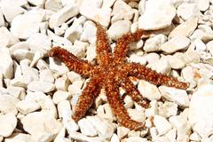 Sea star sitting on stoned beach Stock Photos