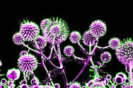 Stock Illustration of toned spherical thistle flowers over black