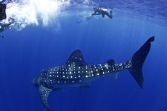 Whale shark with snorkellers Stock Photos