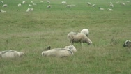 Sheep (4) Stock Footage