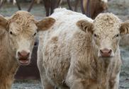 Talking Cows Stock Photos