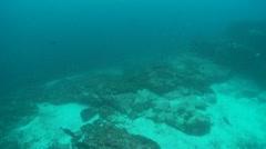 Scalloped hammerhead & whit tips reff sharks Stock Footage