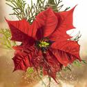 Stock Photo of poinsettia flower